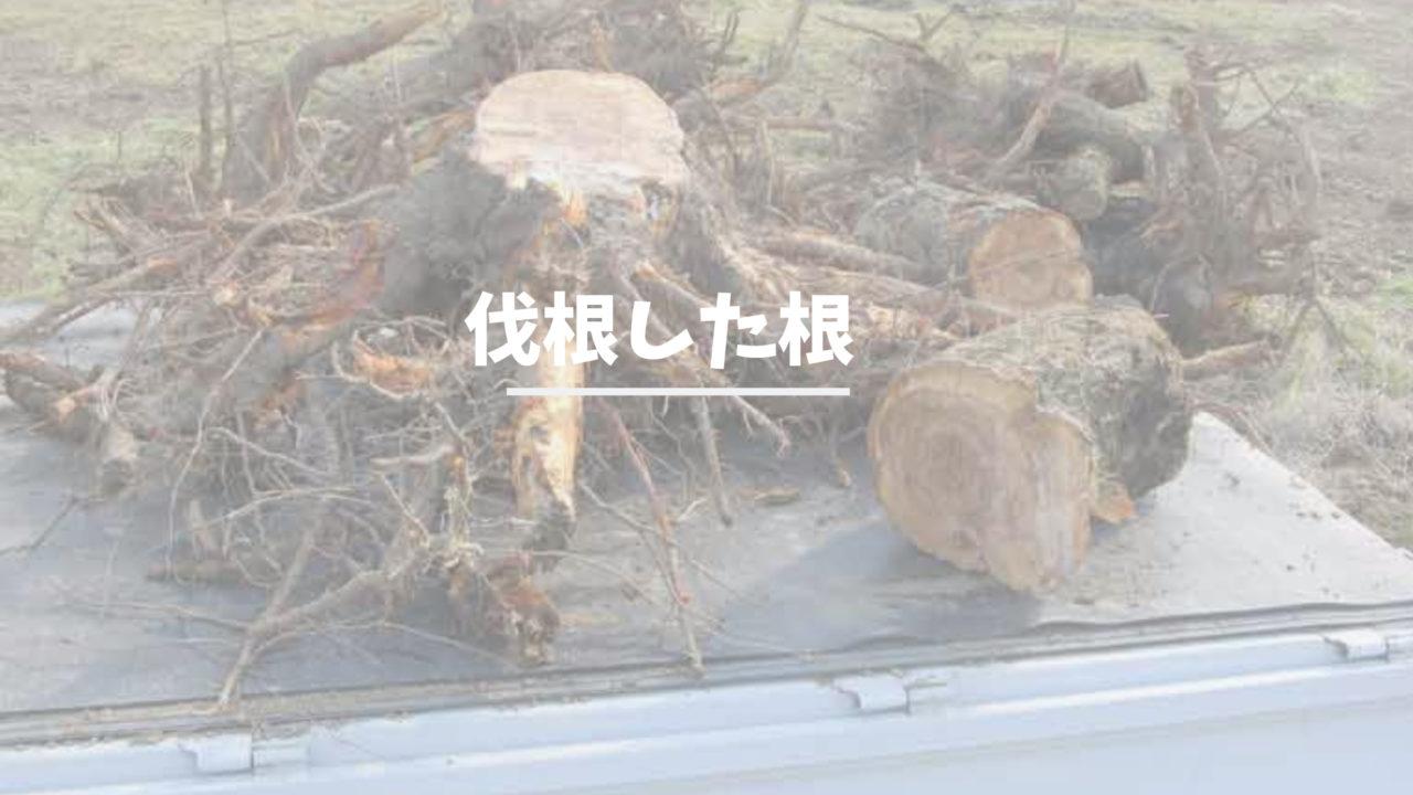 伐根した根