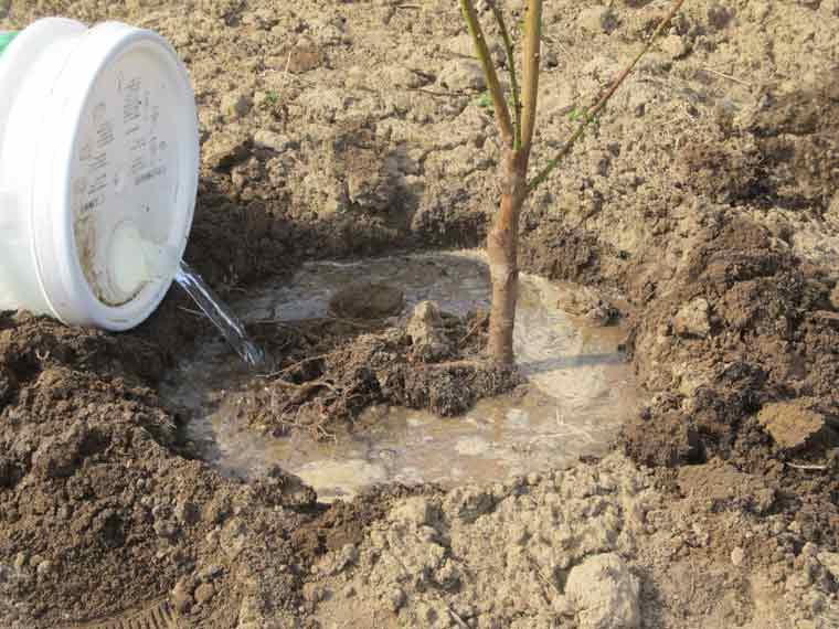 苗木に水をやる