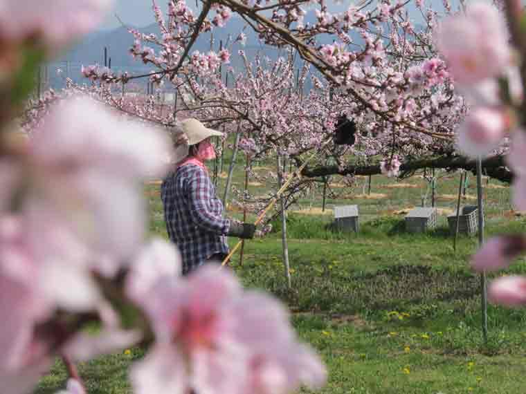 桃の受粉作業