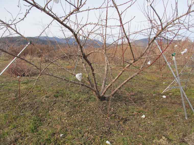 剪定する木